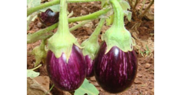 ankur seeds india
