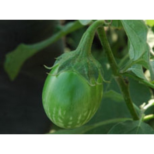Ankur Hybrid brinjal-Harshal (10g) Vegetable Seeds- 10 GRM