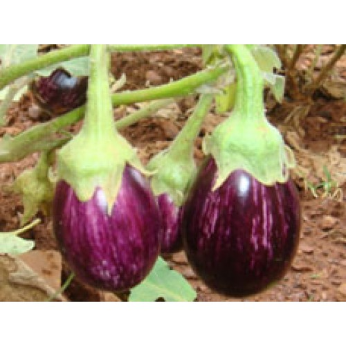Ankur Hybrid brinjal-Abhishek  (10g) Vegetable Seeds