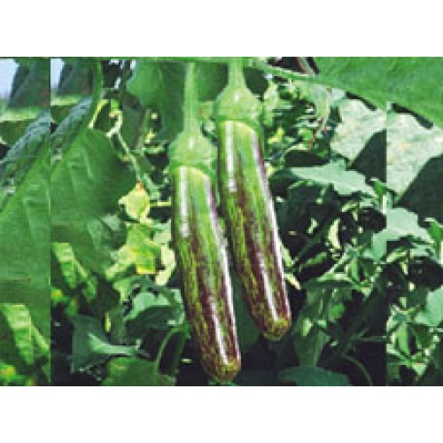 Ankur Hybrid brinjal-Sachin (10g) Vegetable Seeds