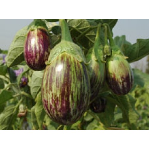 Ankur Hybrid brinjal-Vijay (10g) Vegetable Seeds