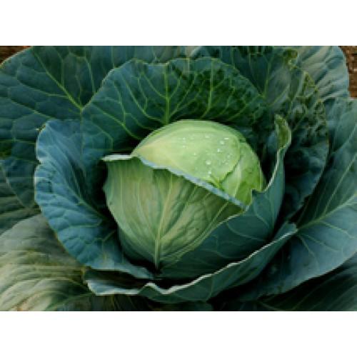 Ankur Hybrid Cabbage – Manas Vegetable Seeds