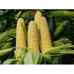 Sweet Corn Seeds (3)