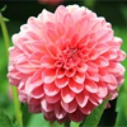 Flower Seeds (107)