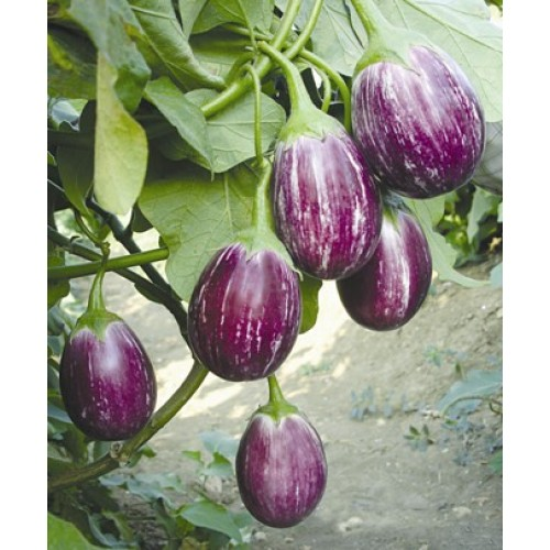 VNR  Brinjal Vegetable Seeds MANJUSHREE-10 GRM